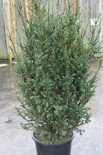 Taxus Baccata - Large English Yew Plants - 1.7M Tall