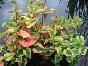 3 Variegated Chameleon Plants~Marginal(shore)~Koi Pond/Bog/Water garden ~Winter