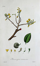 Pterocarpus Erinaceus Muninga africani palissandro cinema Tree Africa böüte