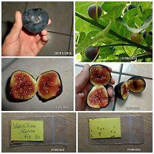 Greek Fig Tree ''Vasilika Mavra'' ~20 Top Quality Seeds - Royal Black Fig