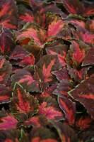Coleus Seed: Festive Dance Coleus Seeds 40 Seeds  Fresh Seed  FREE Shipping
