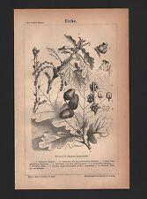 Lithografie 1875: Eiche. Stieleiche. Quercus pedunculata.
