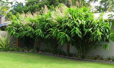 Thysanolaena Latifolia TIGER Erba Bambù come pianta tropicale esotico SEMENTI DA PRATO