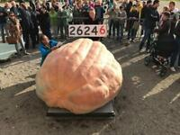 Giant Pumpkin Dill's Atlantic 2624lb x self WORLD RECORD genetics! seed 2019