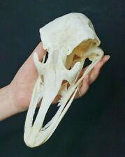 1 Pcs Real Ostrich Skulls/ Animal Skulls Specimens / Real bone/