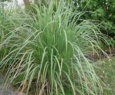 Lemongrass- 4 Rooted Plants-Cymbopogon citratus-Citronella - Aromatic Ornamental