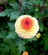 "Chrysanthemum ""Kelvin's Oyster"" x 1 plant"