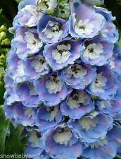 500 Delphinium Ajacis Seeds Rocket Larkspur Consolida Mix Color Flower Perennial