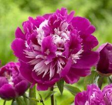 Celebrity Peony 2-3 Eye Bareroot Great for Fall Planting 2 Bulbs Home Garden