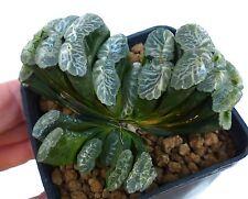"Haworthia truncata ""LA GRANDE BELLEZZA"" new Italian hybrid NO variegated HB058"