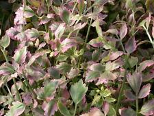 10-Variegated Water Celery,Koi Water Pond Plant,100%Organic Grown Ag Pa,# Ooo5Dl