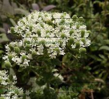 Origanum onites 30  ORGANIC Seeds Cretan oregano Cretan Herb Origanum smyrnaeum