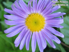 50 Blue East Indies Aster Tongolensis Flower Seeds + Gift & Comb S/H