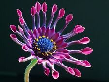 Mixed African daisy seeds (10 seeds) F-165
