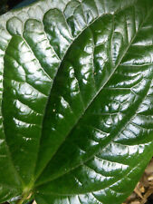 Piper Sarmentosum Wild Betel Leaf : Pepper Plant : Permaculture Perennial Edible