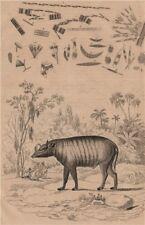 Babiroussa (Babirusa). Algae. Diatoms. Desmidiales 1834 old antique print