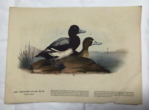 Vintage 1940s Audubon Wildlife Artwork Print Number498 GREATER SCAUP DUCK Shore
