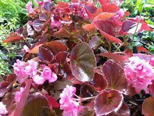 "DOUBLE BEGONIA - double PINK - LIVE PLANT - 3"" size pot - 2 PLANTS"