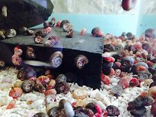 Tropical Red Ramshorn Snail x 10