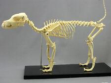 Dog Skeleton, Canine, Prop Decoration Anatomical NEW