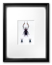 """REAL FRAMED 3 WEEVILS: Cyrtotrachelus Composition - ART OF INSECTS, 11"""" x 14"""""""