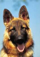 German Shepherd, Dog, Chien, close-up