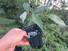 "20"" tall Lychee plant litchi tropical fruit tree"