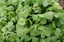 Organic Salad - Purslane - Winter Miners Lettuce - 1400 Seeds
