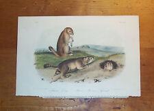 The Quadrupeds of North America. Audubon. Octavo ed Prairie Dog / Marmot Squirl.