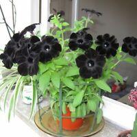 100Pcs Black Petunia Flower Seeds Bonsai Rare 3 Kind Plant For Garden