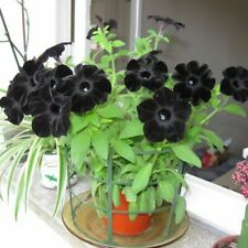 200Pcs Black Petunia Flower Seeds Bonsai Rare 3 Kind Plant For Garden