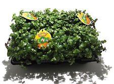 6 Stück - Golliwoog (Callisia Repens)  - Futterpflanze für Vögel, Kaninchen