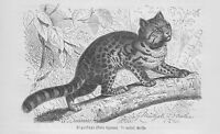 Tigerkatze Ozelotkatze Leopardus tigrinus Holzstich von 1891 Raubkatzen Katzen