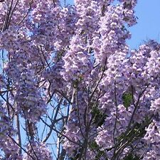 Paulownia elongata UNIQUE TREE SEEDS!