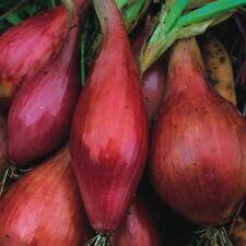légumes Onion LONG ROUGE Florence MIN 2000 graines