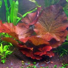 Red Tiger Lotus - Live Aquarium Plant (FREE Ship!) INV