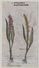 JOHN GERARD BOTANICA MATTHIOLI 1597 BISTORTA MINOR FIORI FLOWERS ORIGINALE