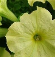 Petunia - Sophistica Lime Green - 15 Seeds