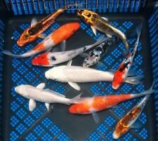 """WOW! FAMILY OF (5) JAPANESE IMPORTED 3-4"""" KOI standard fin live fish TKC"""