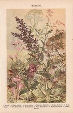 Wildblumen Herbstzeitlose Orchideen Knabenkraut LITHOGRAPHIE von 1899 Giersch
