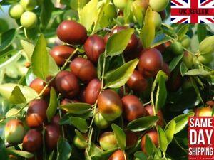 Jujube Red Chinese Date (Ziziphus Jujuba) - 10 seeds. Semillas Same Day Dispatch