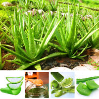 100* Aloe Vera Seeds Edible Succulent Plant Rare Herbal Medicinal Vegetables