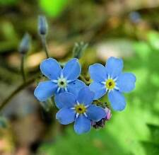 Myosotis sylvatica   Woodland Forget Me Not   20_Seeds FREE SHIPPING TO US