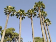 Palmera de California - WASHINGTONIA FILIFERA - 8 Semillas