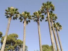 Palmera de California - WASHINGTONIA FILIFERA - 8 Semillas