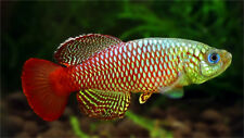 Nothobranchius palmqvisti (Killifish) 60+eggs