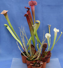 COLLECTION of 6 CARNIVOROUS PLANTS - Drosera; Red Venus fly trap; 4 x Sarracenia
