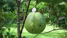 Giant 1kg Rare World Biggest guava sweet white/Yellow Finest 5 Seeds