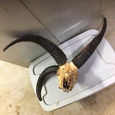 Jacob 4Horn Ram Euro Skull Mount Taxidermy Mount Cabin Decor