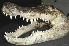 "10"" FLORIDA ALLIGATOR GATOR HEAD TAXIDERMY real genuine  skull teeth crocodile"